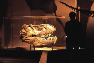 暴龍頭骨化石