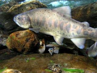 櫻花鉤吻鮭