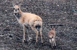 新生小藏羚