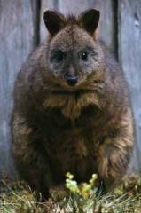 塔斯馬尼亞袋鼠