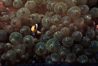 克氏海葵魚