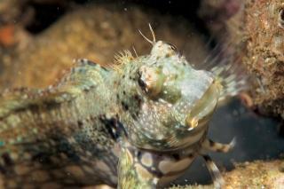細紋唇齒魚