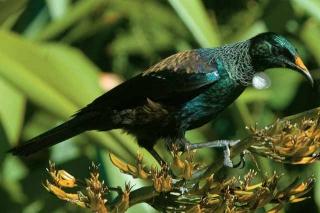 紐西蘭蜜雀