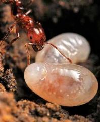 紅火蟻職蟻