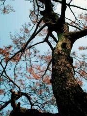 松樹褐化、萎凋