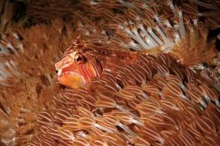 九棘長鰭鸚鯛