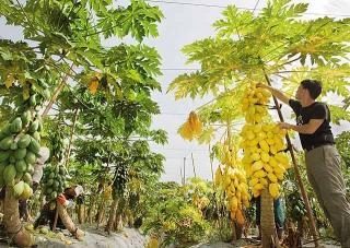 木瓜試驗果園