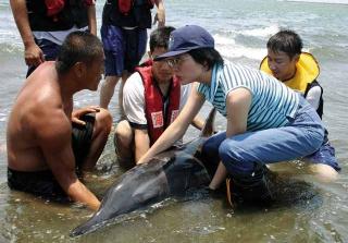 糙齒海豚擱淺