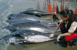 小虎鯨集體擱淺