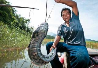 活魚為餌誘引魚虎