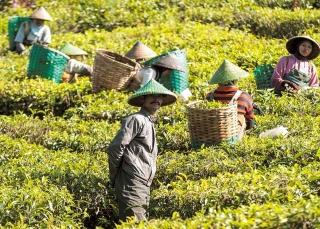 茶葉市場供過於求