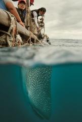 小鯨鯊「經典」