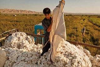 棉花重要經濟作物