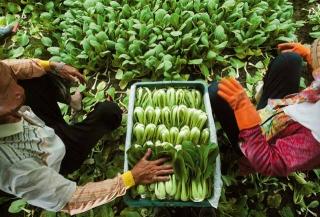 採收青江菜