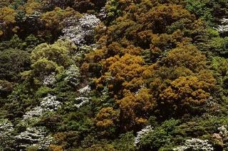 油桐花與相思樹花