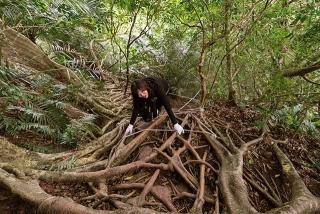 攀爬盤根錯節的榕樹