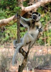 維氏冕狐猴