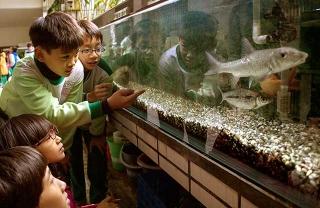 台灣原生魚類小天使