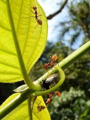 角蟬和螞蟻共生