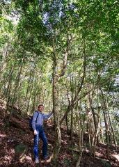 樹高、葉大的台灣山茶樹
