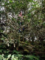 攀上茶樹採茶