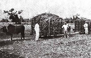 牛隻拉軌道上的甘蔗車