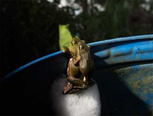 翡翠樹蛙踢卵泡
