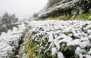茶園蒙上白雪