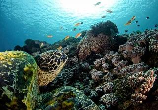 綠蠵龜趴在珊瑚上休息