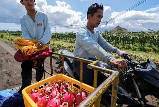 果農運載豐收的火龍果