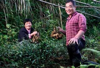 茶樹放養長出枝條