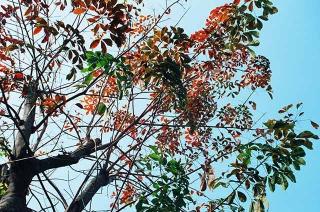 巴西橡膠樹