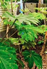 五峰鄉花園國小種植原生種蓪草