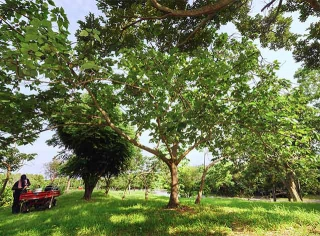 構樹被園丁細心照料