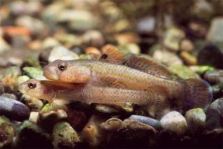 新種鰕虎魚