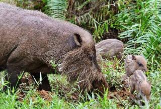 婆羅洲鬚豬