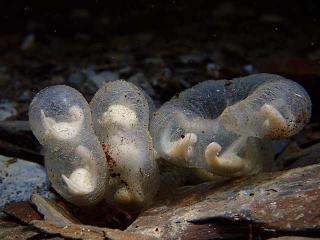 山椒魚卵串