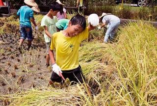 宜蘭深溝國小學童收割稻穀