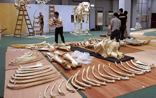 林旺的骨骼標本