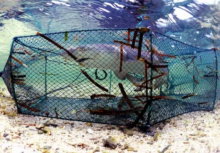 蛇籠捕獲檸檬鯊