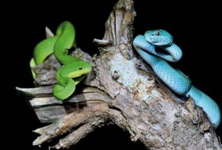 藍色的海島青竹絲