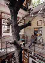 台南謝宅的楓香樹