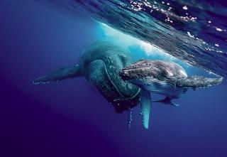 大翅鯨母子檔