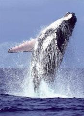 大翅鯨躍身擊浪