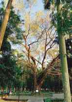 百歲菩提樹