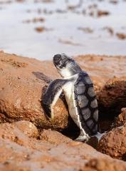 平背龜寶寶爬出卵窩