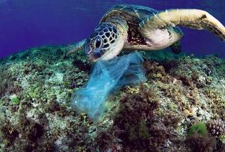 綠蠵龜糞便中含有魚線、塑膠繩