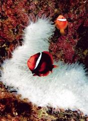 海葵也耐不過高溫而白化