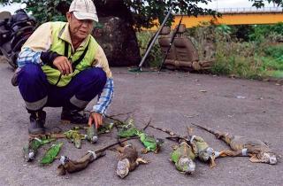 捕捉棄養的綠鬣蜥