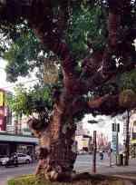 老榕樹下的回憶
